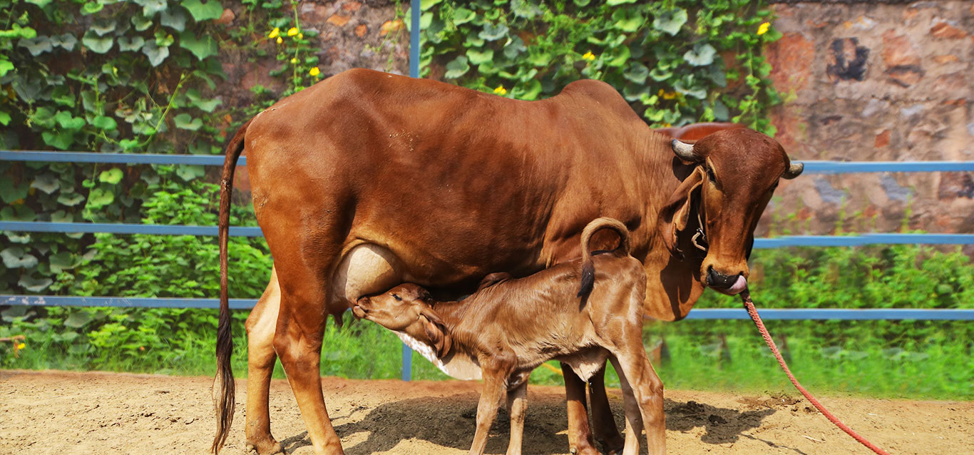 indian cow with calf
